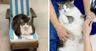 Fat Fred, le chat de 25 kilos que tous les passants imaginent en gestation