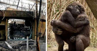 Addio a Massa: il gorilla che doveva salvare la sua specie è morto nell'incendio dello zoo di Krefeld