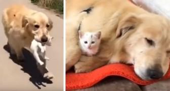 Deze lieve Golden Retriever redde een kat van de straat en behandelt hem nu alsof hij zijn pup was