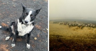 Questo Border Collie coraggioso ha salvato il suo gregge di pecore da un pericoloso incendio in Australia