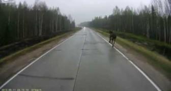 Alce attraversa la strada