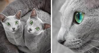 Ces 2 chattes de la race bleu russe émerveillent tout le monde avec leurs yeux verts et leurs robes argentées