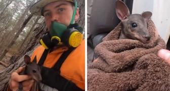 Um bombeiro salvou um filhote de canguru que tentava se proteger das chamas embaixo de um tronco