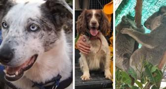 Bear et Taylor, les braves chiens qui flairent les koalas et les sauvent des incendies dévastateurs en Australie