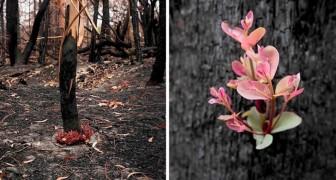 Malgré les incendies dévastateurs, les forêts australiennes refusent de mourir et les premières pousses naissent