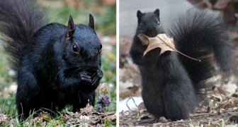 Schwarze Eichhörnchen: eine seltene und faszinierende Mutation, die aus der Kreuzung zweier verschiedener Arten entstanden ist