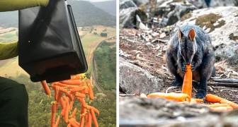 Australien: Hubschrauber werfen Tonnen von Karotten und Kartoffeln für hungrige Tiere ab, die den Flammen entkommen sind