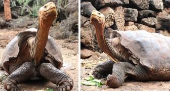 Diego : la tortue géante père d'environ 800 petits, grâce auxquels il a sauvé son espèce