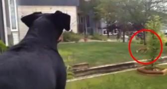Qualcuno ha trovato il suo giocattolo e il cagnolino non si dà pace!