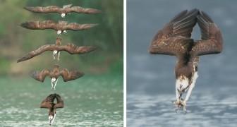 Un fotografo è riuscito a immortalare il volo del falco pescatore nel momento in cui si lancia sulla preda