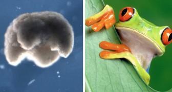 Un team di scienziati ha costruito il primo robot vivente usando le cellule embrionali di una rana