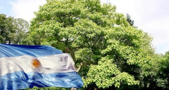 In Argentinien ist ein Projekt zur Pflanzung von 100.000 Kiri-Bäumen geplant, das die Auswirkungen von Treibhausgasen reduzieren soll