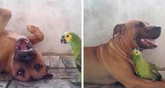 Deze video laat de tedere vriendschap zien tussen een hond en een papegaai, die nooit stoppen met spelen