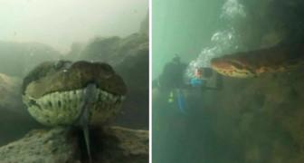 Due sommozzatori si sono ritrovati faccia a faccia con un'anaconda dalle dimensioni gigantesche