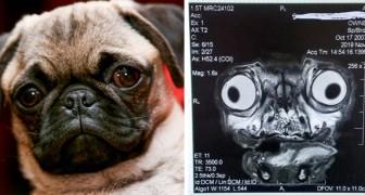 Das gruselige Röntgenbild eines Mopses zeigt alle gesundheitlichen Probleme, an denen diese Hunderasse leidet