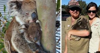 Dieser Mann weigerte sich, seinen feuergefährdeten Park zu verlassen, um über 100 Koalabären zu schützen
