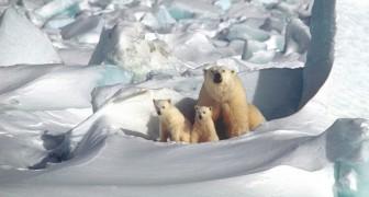 La popolazione degli orsi polari nell'Artico potrebbe essere in crescita, dicono gli esperti