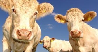 Les vaches sont capables de se parler et d'exprimer les émotions qu'elles ressentent : une étude le révèle