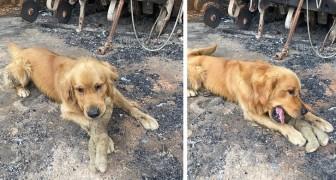 Deze hond heeft zijn favoriete knuffeldier gevonden tussen het puin van het huis dat verwoest werd door de Australische branden