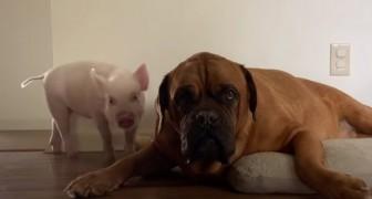 Le petit cochon se prend pour un chien et se lie d'amitié avec ce mastiff géant