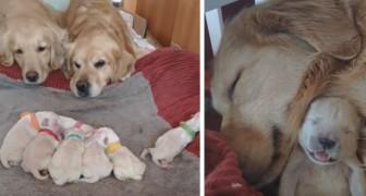 Twee Golden Retrievers zijn net ouders geworden van 7 puppy's: in deze scène kijken ze vol liefde naar hen