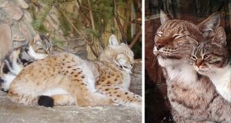 Die ungewöhnliche Freundschaft zwischen einer streunenden Katze und einem Luchs: unzertrennliche Katzen im St. Petersburger Zoo