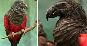 Ze noemen hem de Dracula Papegaai, maar zijn uiterlijk mag niet bedriegen: deze vogel eet alleen zaden en fruit