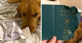 Deze hond eet het paspoort van zijn baasje op die naar Wuhan zou vertrekken, en redde haar van het Coronavirus