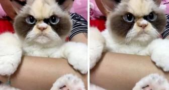 Diese süße Schmollkatze lebt in Taiwan und sieht wie der perfekte Erbe der berühmten Grumpy Cat aus