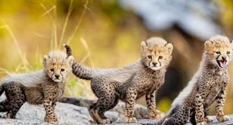 Dieser bezaubernde Wurf Geparden gibt neue Hoffnung für das Überleben der ernsthaft bedrohten Art