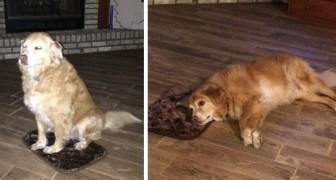 La padrona compra accidentalmente un letto extra small per il suo cane e lui finge che sia tutto ok per non deluderla