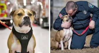 Het verhaal van Hansel, de eerste pitbull die is getraind om te ruiken en het gevaar van brandstichting te voorkomen