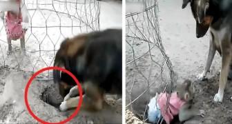 O cachorro cava um buraco para libertar o macaquinho trancado na jaula: depois de um longo trabalho, ele consegue salvá-lo