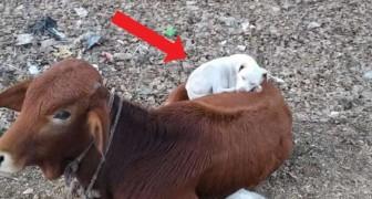 De ongewone scène van een hond die een dutje doet, opgerold op de rug van een koe