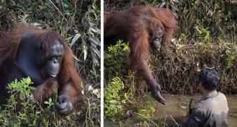 Un photographe saisit le moment où un orang-outan tend la main à un homme dans sa volonté de l'aider