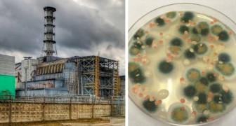 Tsjernobyl: in de kernreactor groeit een schimmel die bestand is tegen straling en zich ermee lijkt te voeden