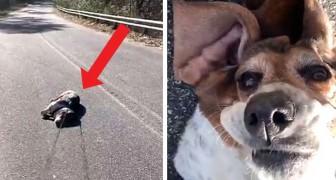 Deze te zware hond laat zich tijdens het wandelen vallen en komt niet overeind totdat ze wordt geaaid