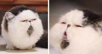 Zuu, il gatto che ha la stessa espressione imbronciata di chi ha appena sentito suonare la sveglia di prima mattina