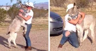 Ce petit âne sauvage saute, court et remue la queue comme un chien quand son ami humain rentre à la maison