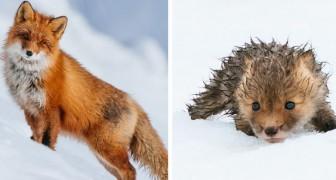 Durante le pause dal suo lavoro, questo ragazzo scatta delle meravigliose foto alle volpi rosse che vivono nella tundra