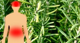 7 voordelen van rozemarijn, een plant die nuttig is voor het verbeteren van de concentratie en het bevorderen van de spijsvertering