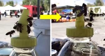 Queste api hanno unito le loro forze per aprire il tappo di un contenitore pieno di miele