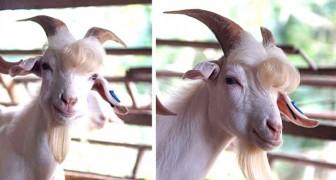 Remos, la capra dall'aspetto così fascinoso da sembrare quasi una pop-star