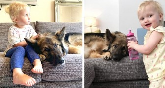 Loki, the huge German shepherd who takes care of this little girl at home as if she were his little sister
