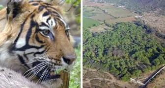 In 20 anni, questa coppia ha acquistato 14 ettari di terreno dove far crescere una foresta per le tigri