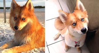 Mya, l'irresistibile cagnolina che ha l'aspetto di una volpe e lo sguardo di un Husky