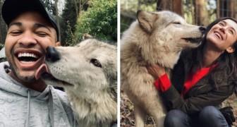 In questo santuario i visitatori possono coccolare e farsi le foto con dei bellissimi lupi