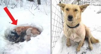 Cette petite chienne a protégé ses petits du gel en creusant un trou dans la neige et en les protégeant avec son corps