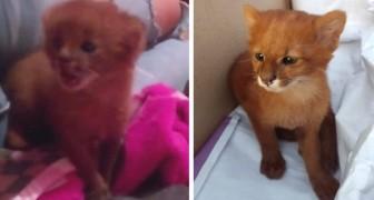 Una mujer salva y adopta un gatito abandonado: meses después descubre que se trataba de un puma