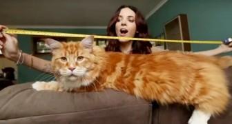 Omar, l'esemplare di gatto Maine Coon da record mondiale misura in lunghezza 120 centimetri